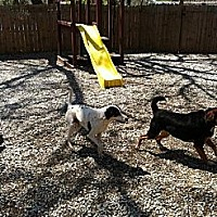 Pointer Mix Dog for adoption in Overland Park, Kansas - Bandit the pointer