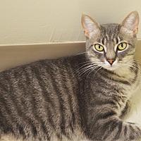 Domestic Shorthair Cat for adoption in Lincoln, Nebraska - Dumpling