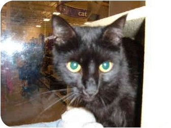 Domestic Shorthair Cat for adoption in No.Charleston, South Carolina - Jamie