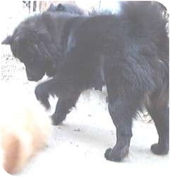 Akita/Chow Chow Mix Dog for adoption in Columbus, Ohio - Huggie Bear