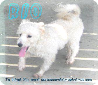 Bichon Frise/Shih Tzu Mix Dog for adoption in Prole, Iowa - Rio