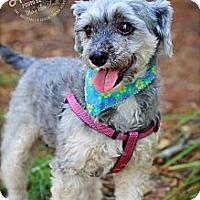 Adopt A Pet :: Fancy - Albany, NY