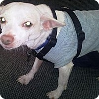 Adopt A Pet :: Taco - Gilbert, AZ