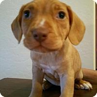 Adopt A Pet :: Silk - Scottsdale, AZ