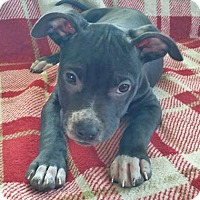 Adopt A Pet :: Stewart Little - North Olmsted, OH