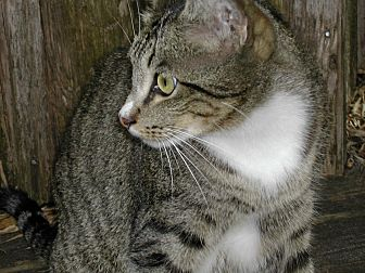 Domestic Shorthair Cat for adoption in Naples, Florida - Scotty