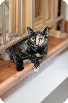 Domestic Shorthair Cat for adoption in Des Moines, Iowa - Zsa Zsa