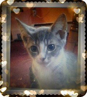 Domestic Shorthair Kitten for adoption in Trevose, Pennsylvania - Angelina Love