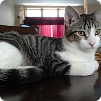 Adopt A Pet :: Cuddles - Princeton, MN