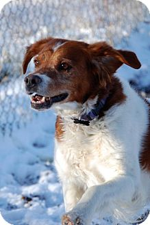 Brittany Dog for adoption in Walton, Kentucky - CO/King