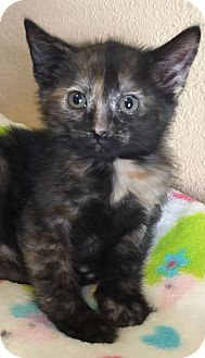 Domestic Shorthair Kitten for adoption in Meridian, Idaho - Praline