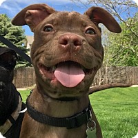 Adopt A Pet :: Bobby - Fort Collins, CO