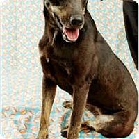 Adopt A Pet :: Star - Garland, TX