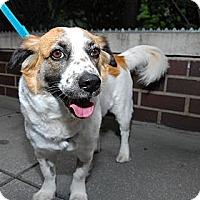 Adopt A Pet :: Mitzi - New York, NY