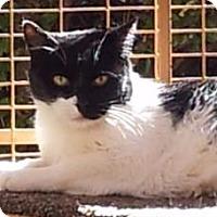 Domestic Shorthair Cat for adoption in Mountain Center, California - Lane