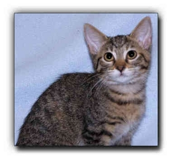 Domestic Shorthair Kitten for adoption in Howell, Michigan - Ashley