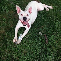 Pit Bull Terrier Mix Dog for adoption in Pataskala, Ohio - Alice