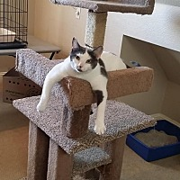 Domestic Shorthair Cat for adoption in Flower Mound, Texas - Duece