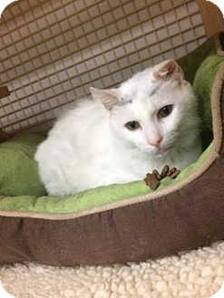 Domestic Shorthair Cat for adoption in Wayne, Pennsylvania - Ebenezer