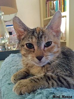 Domestic Shorthair Kitten for adoption in Fullerton, California - Minnie Mouse