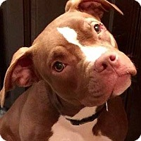 Adopt A Pet :: Java Bean - Kansas City, MO