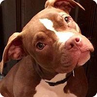 Pit Bull Terrier Puppy for adoption in Kansas City, Missouri - Java Bean