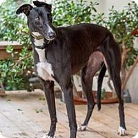 Adopt A Pet :: Haley - Walnut Creek, CA