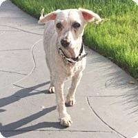 Adopt A Pet :: Arthur - I do not shed! - Los Angeles, CA