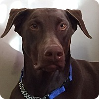 Adopt A Pet :: Papi - Arlington, VA