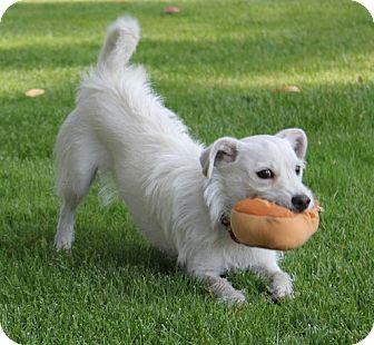 Westie, West Highland White Terrier/Labrador Retriever Mix Dog for adoption in La Habra Heights, California - Tofu