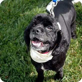 Cocker Spaniel Mix Dog for adoption in Sacramento, California - Lacey