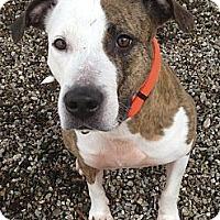 Adopt A Pet :: DIAMOND - Dennis, MA