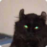 Adopt A Pet :: Gumbo, black & grey - Scottsdale, AZ