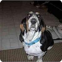 Adopt A Pet :: Black Dahlia - Phoenix, AZ