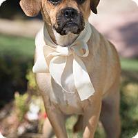 Adopt A Pet :: Benzsma - Sherman Oaks, CA
