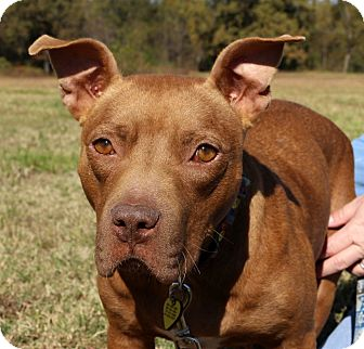 American Pit Bull Terrier Mix Dog for adoption in Glastonbury, Connecticut - Zoey Grace~meet me!
