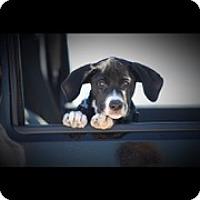 Adopt A Pet :: Puppy Brock - Brattleboro, VT