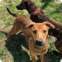 Adopt A Pet :: Shandy - Lisbon, OH