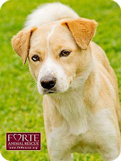 Shiba Inu/Australian Shepherd Mix Dog for adoption in Marina del Rey, California - Josie