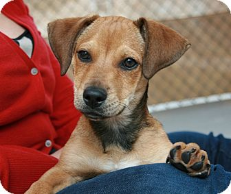 Dachshund Mix Dog for adoption in San Antonio, Texas - Orbison