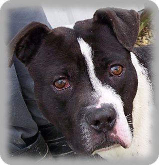 American Pit Bull Terrier/American Bulldog Mix Dog for adoption in Metamora, Indiana - Carlson