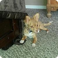 Adopt A Pet :: Rosi - Las Cruces, NM