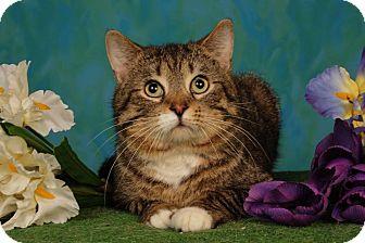 Domestic Shorthair Cat for adoption in mishawaka, Indiana - Baby