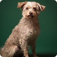 Adopt A Pet :: Swanson- MEET ME - Norwalk, CT