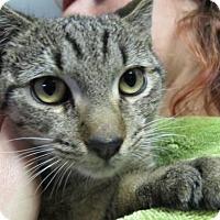 Adopt A Pet :: Hudson: Lap Cat Teen Kitten - Brooklyn, NY