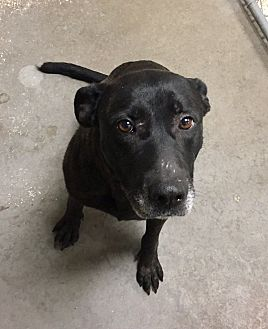 Shepherd (Unknown Type)/Labrador Retriever Mix Dog for adoption in Greensburg, Pennsylvania - Thunder
