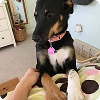 Adopt A Pet :: Sadie 2 - ON HOLD - NO MORE APPLICATIONS - Taneytown, MD