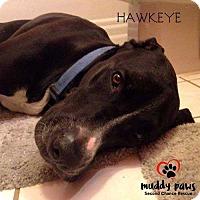 Adopt A Pet :: Hawkeye - Council Bluffs, IA