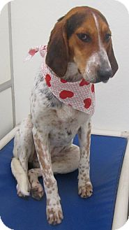 Treeing Walker Coonhound/Foxhound Mix Dog for adoption in Holton, Kansas - Maggie Moo