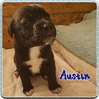 Adopt A Pet :: Austin - Jay, NY